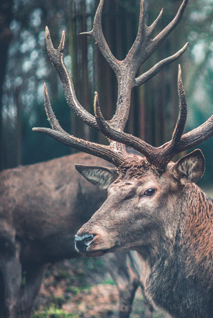A reindeer with horns stands in front of another.